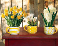 Daffodils, crocus and hyacinths for forcing