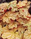 Ginger Ale Heuchera