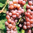 Red seedless grapes are becoming more available