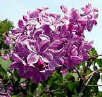Purple French Lilac
