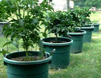Tomaoeos and Peppers in containers