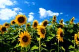 sunflowers.jpg (160x106 -- 8311 bytes)