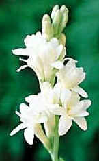double flowered tuberose